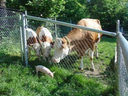 Kuh mit Kälber und jungem Säuli